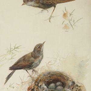 Archibald Thorburn watercolour